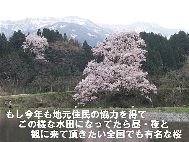 向野の江戸彼岸桜 (2)