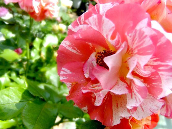 2010花巻のバラ園