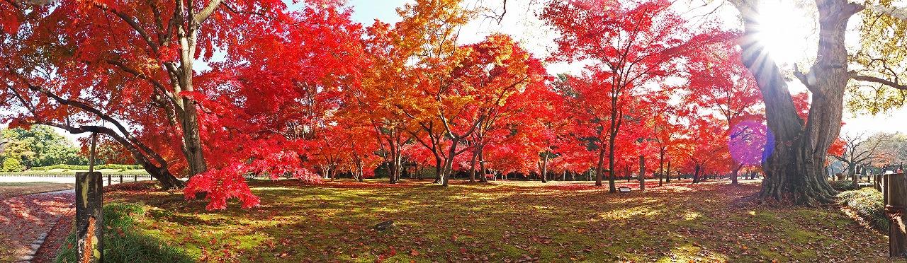 s-20141127 後楽園千入の森の今日の紅葉の様子ワイド風景 (2)