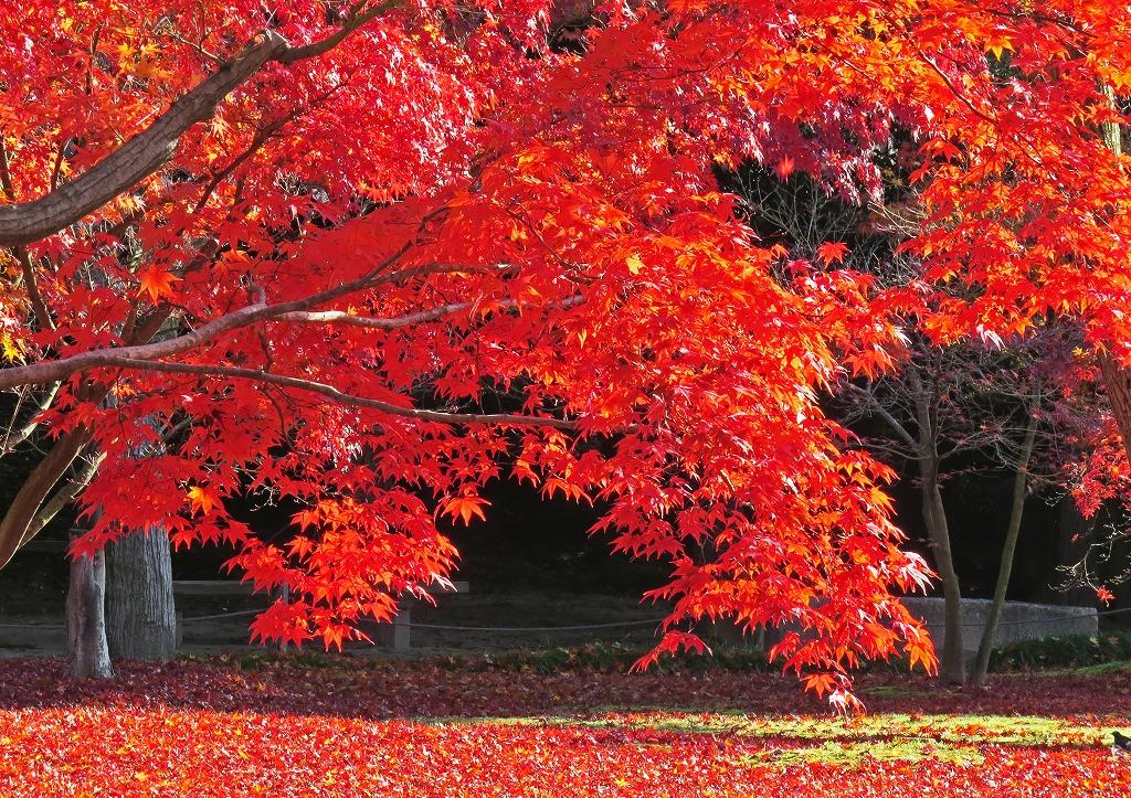 s-20141130 後楽園今日の園内の紅葉の様子 (3)