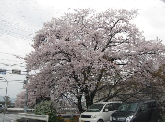 13年 根来寺の桜