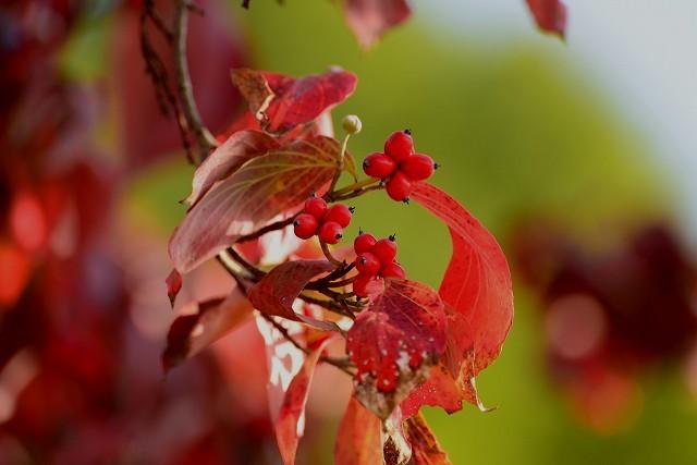 ハナミズキの紅葉と実1