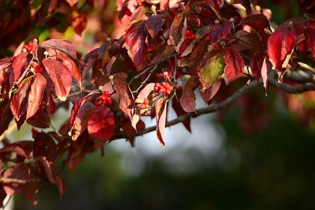 ハナミズキの紅葉と実2