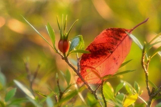梔子の実と落ち葉1