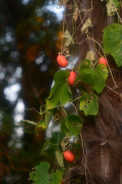 シュロの木にまとわりついたカラス瓜の実