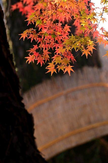 後楽園の紅葉4