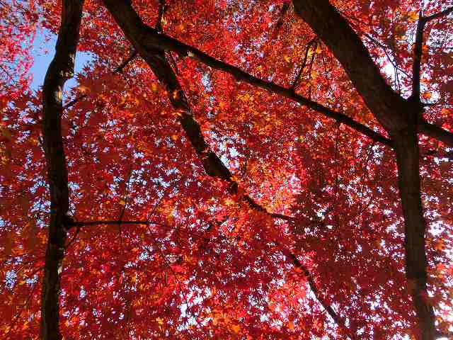 後楽園の紅葉15