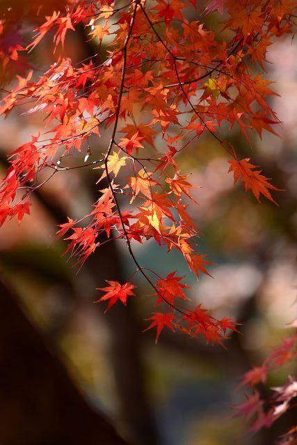 後楽園の紅葉16