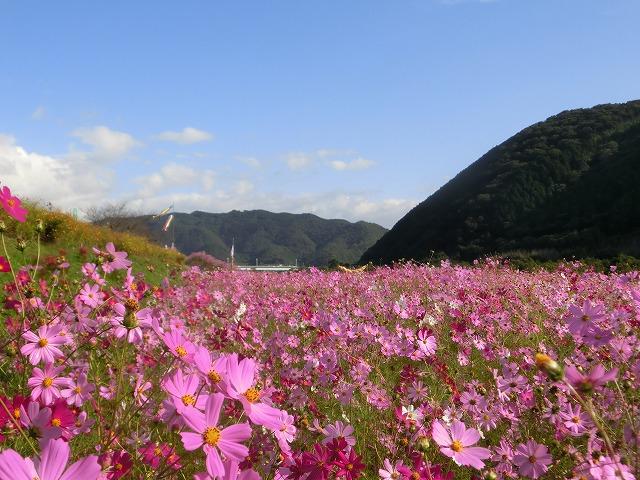 吉井町のコスモスと案山子祭り1