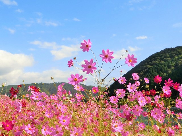 吉井町のコスモスと案山子祭り2