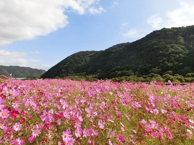 吉井町のコスモスと案山子祭り3