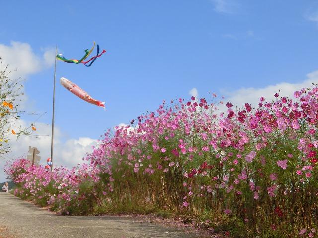 吉井町のコスモスと案山子祭り4