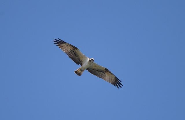 ミサゴの飛翔1