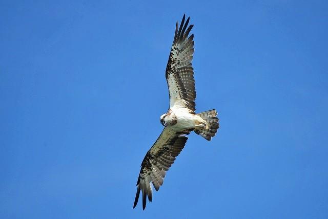 ミサゴの飛翔2
