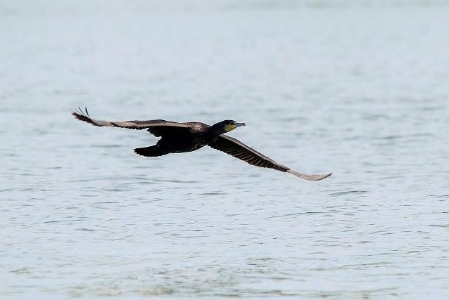 カッコよく飛翔する川鵜1