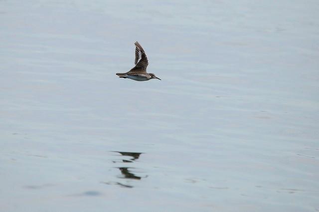 イソシギの飛翔1