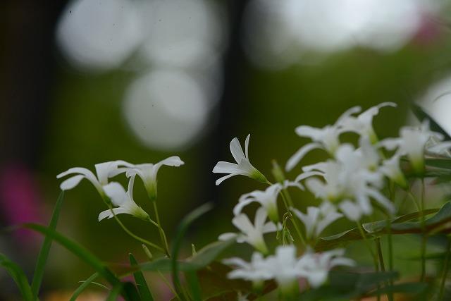 カタバミ(白)