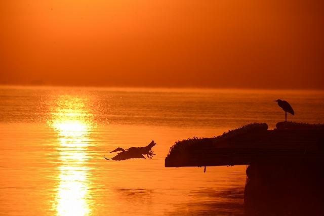 日の出とダイサギ2