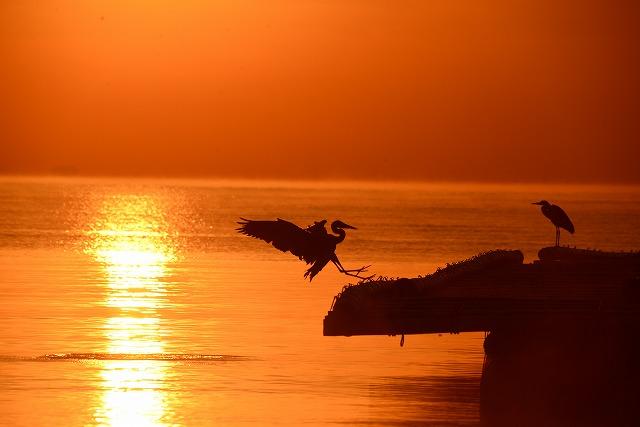 日の出とダイサギ3