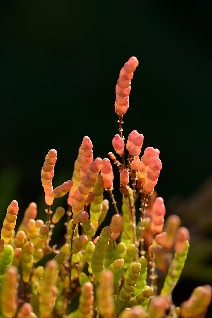 アッケシ草6
