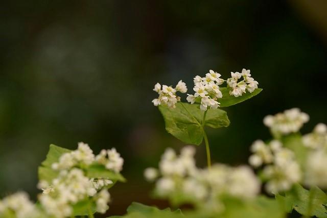 白い蕎麦の花1
