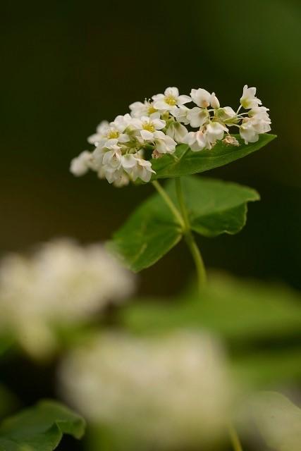 白い蕎麦の花2