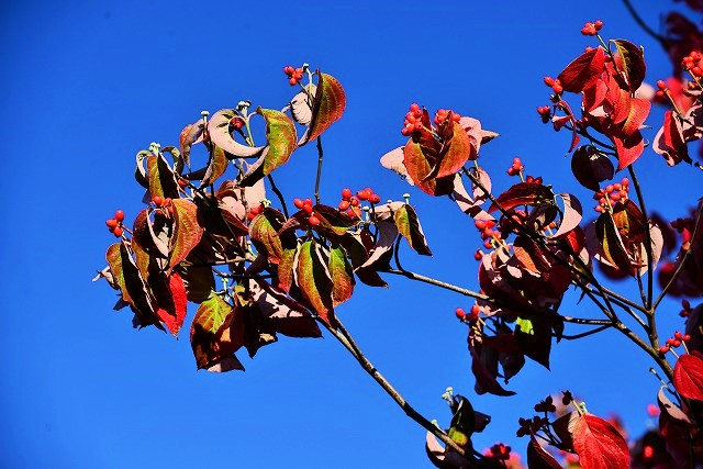 ハナミズキの実と紅葉1