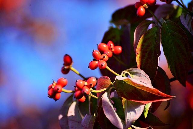 ハナミズキの実と紅葉2