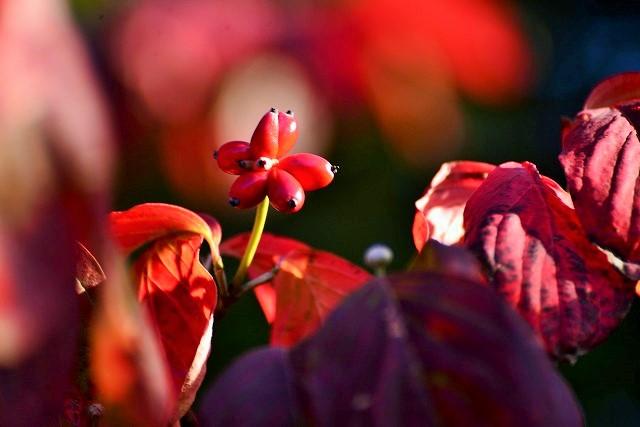 ハナミズキの実と紅葉3