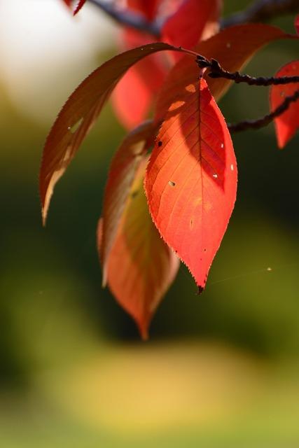 桜の葉の紅葉1