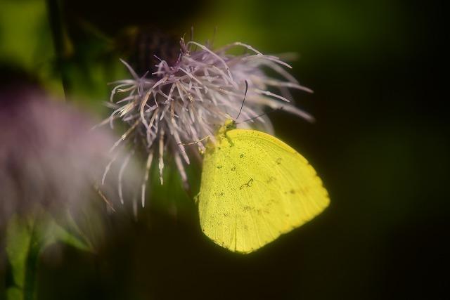 ボクチアザミにとまる黄蝶