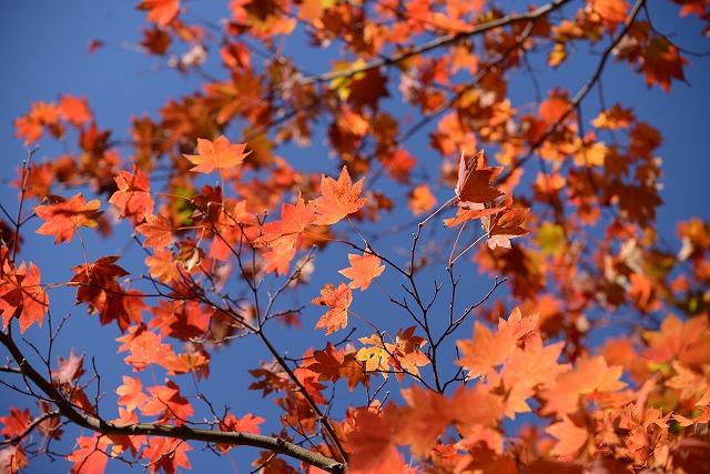 ハウチカエデの紅葉1