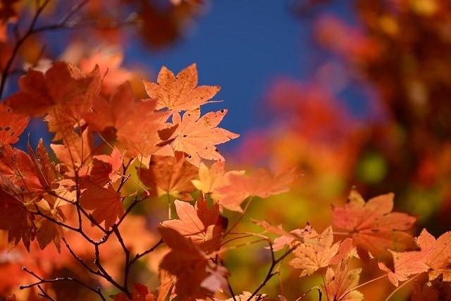 ハウチカエデの紅葉2