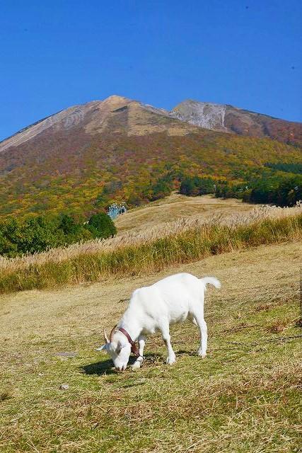 枡水高原のヤギ