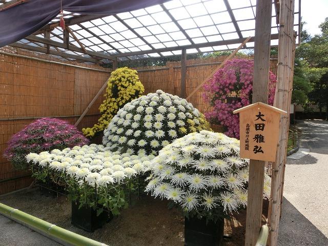 後楽園の菊花展1