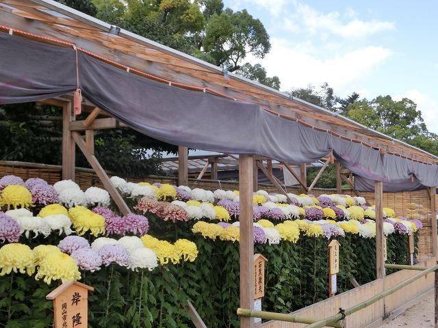 後楽園の菊花展4