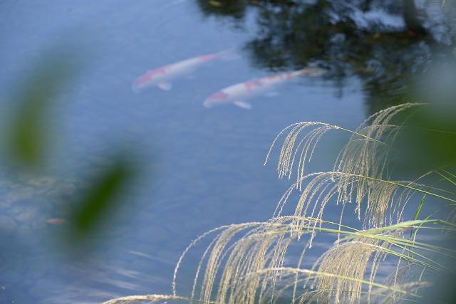 鯉とすすき