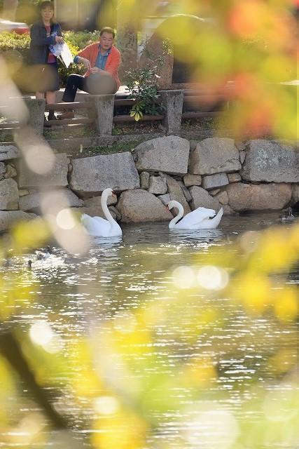 堀の白鳥2
