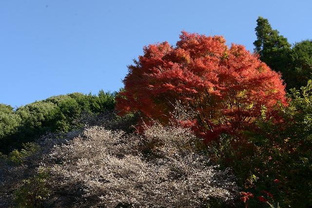 神代の四季桜とモミジ1