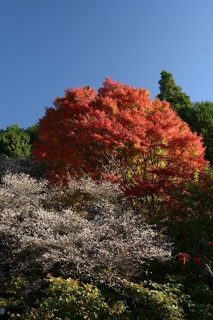 神代の四季桜とモミジ2