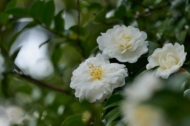 山茶花(白)1