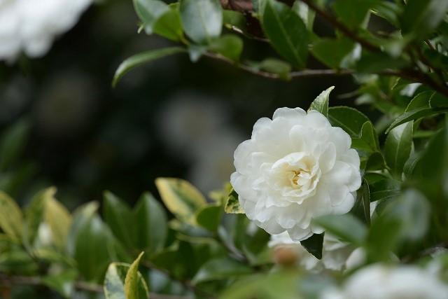 山茶花(白)2