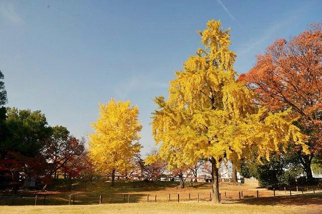 入園前の銀杏の木1