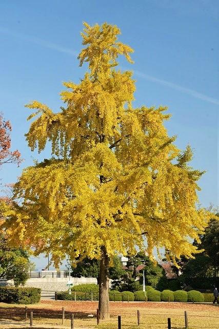 入園前の銀杏の木2