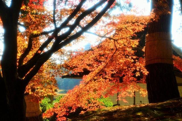 寒翠細響軒と松の菰1