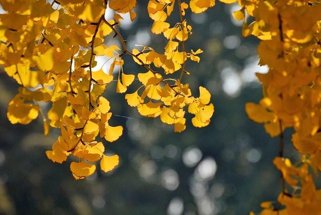 入園前の銀杏の木3