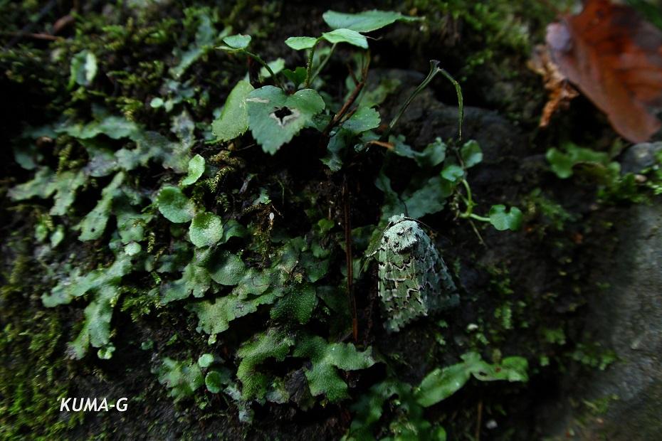 Daseochaeta viridis