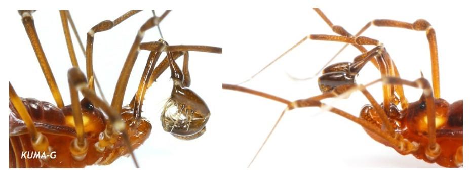 Epedanellus tuberculatus,Pseudobiantes japonicus