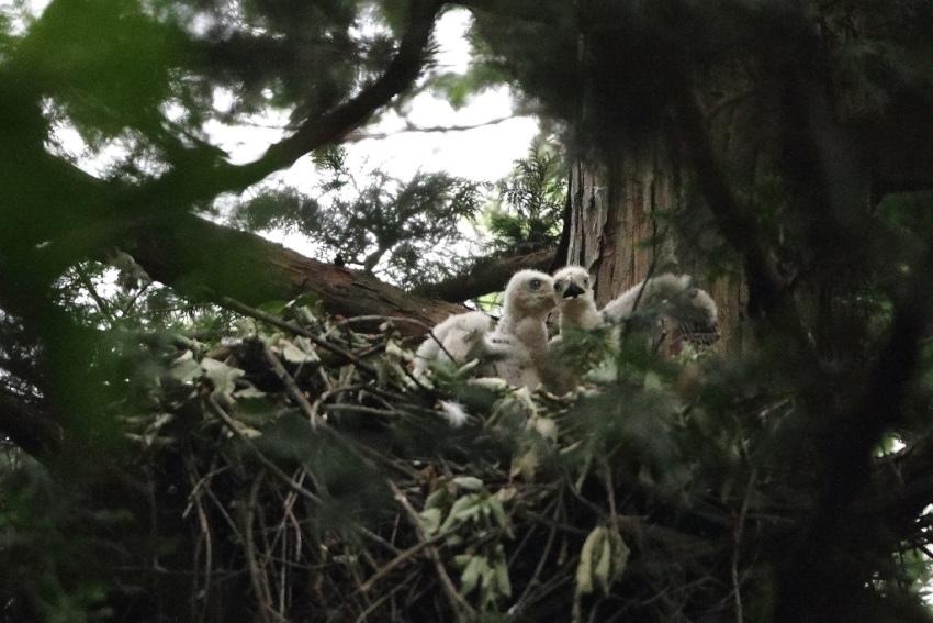 1オオタカ幼鳥