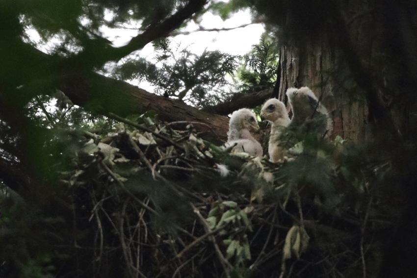 2オオタカ幼鳥